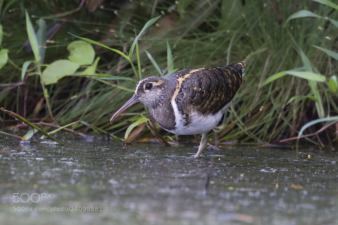 Photograph Painted Snipe by Allan Seah on 500px
