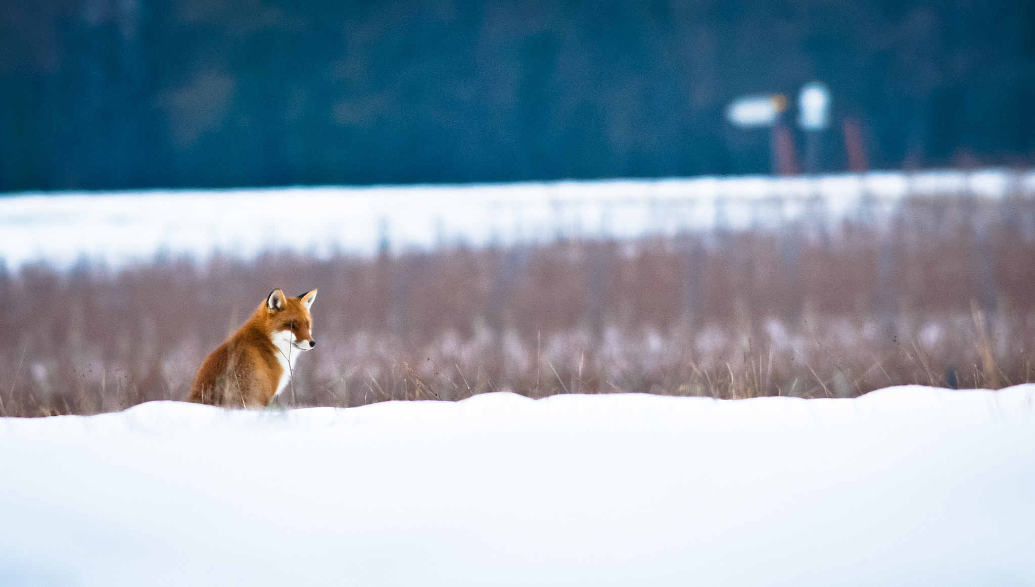 Photograph Fox in the snow by Gilbert Fortune on 500px