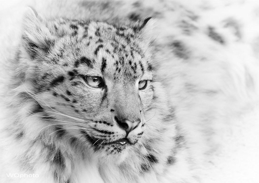 Photograph Panthera uncia by Walter Oberhofer on 500px