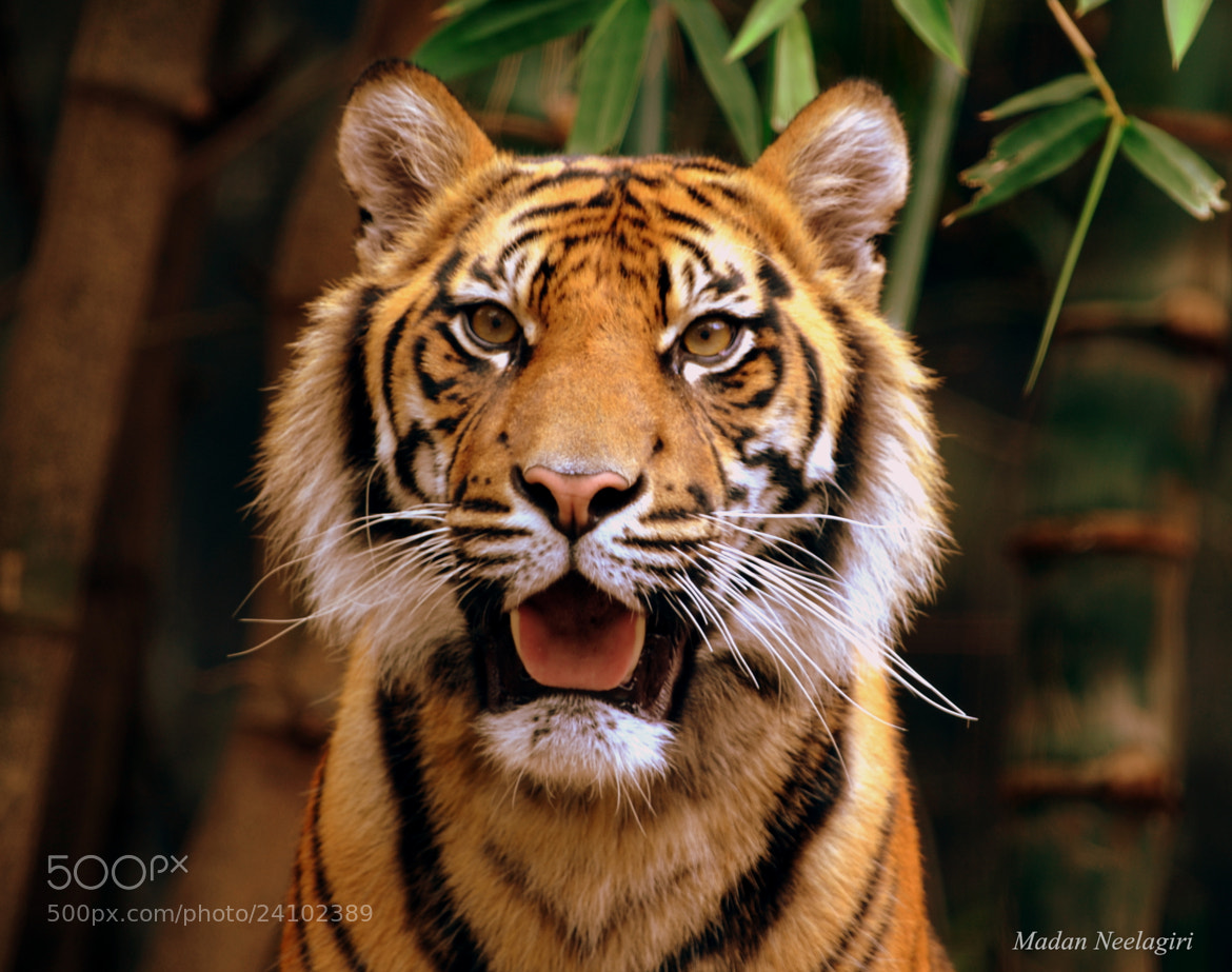 Photograph Sumatran tiger by Madan Neelagiri on 500px