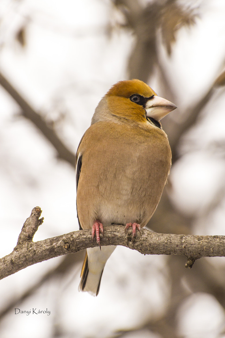 Photograph Hawfinch by Károly Danyi on 500px