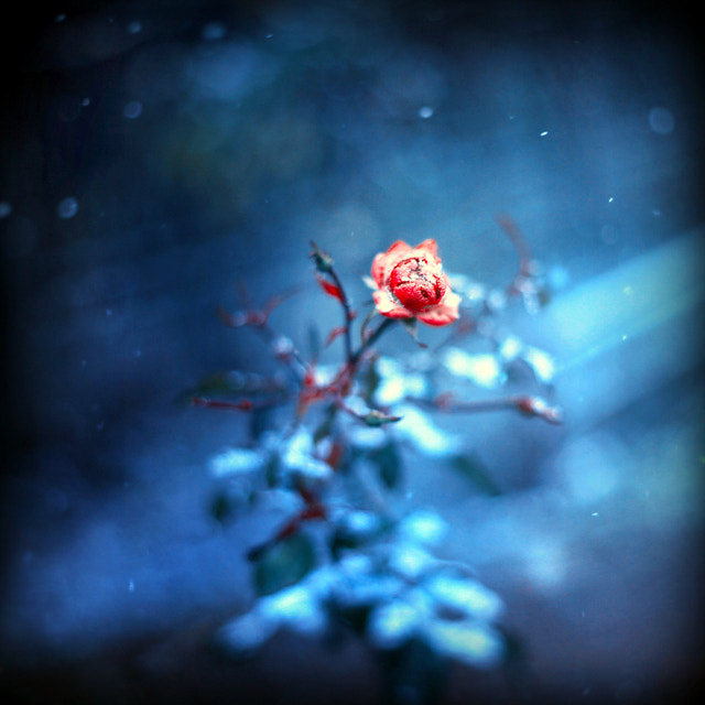Photograph winter rose by Barbara Florczyk on 500px