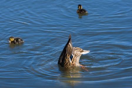 Mallard female duck with head in water.