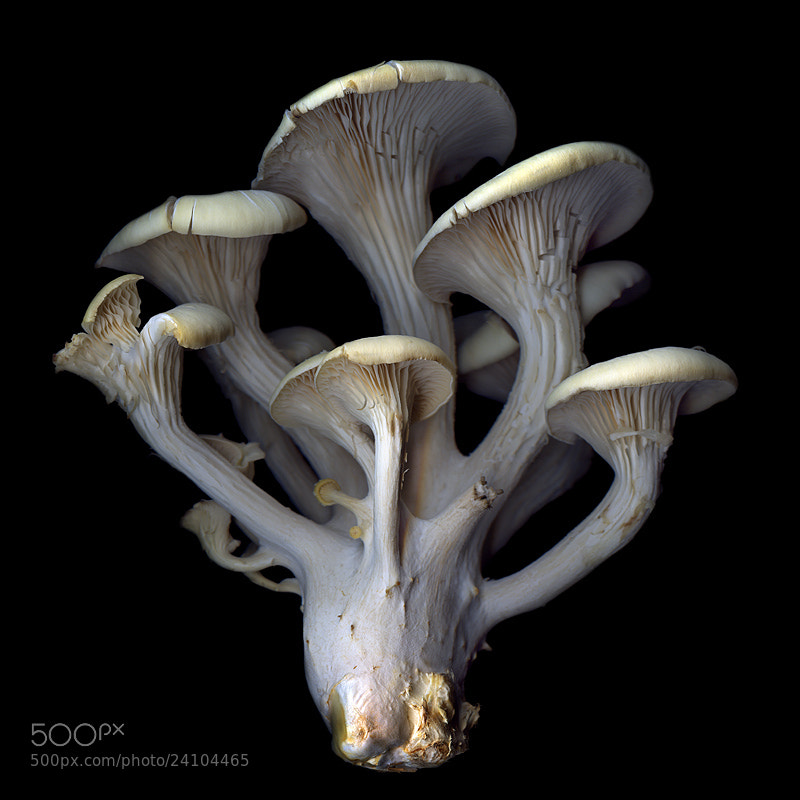 Photograph STRUCTURE... OYSTER MUSHROOMS... by Magda Indigo on 500px