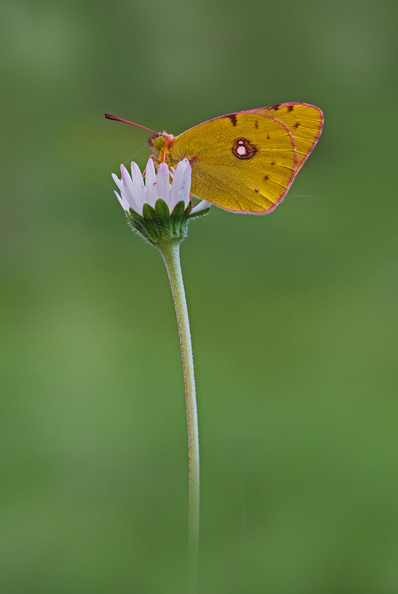 Photograph Colias crocea by ivo pandoli on 500px