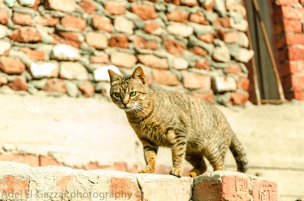 Photograph Crouching Cat by Adel  El-Gazzar on 500px