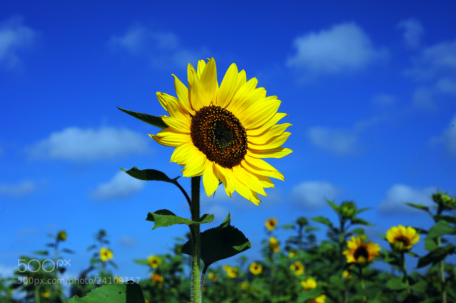 Photograph Bright sunflower by Cristobal Garciaferro Rubio on 500px
