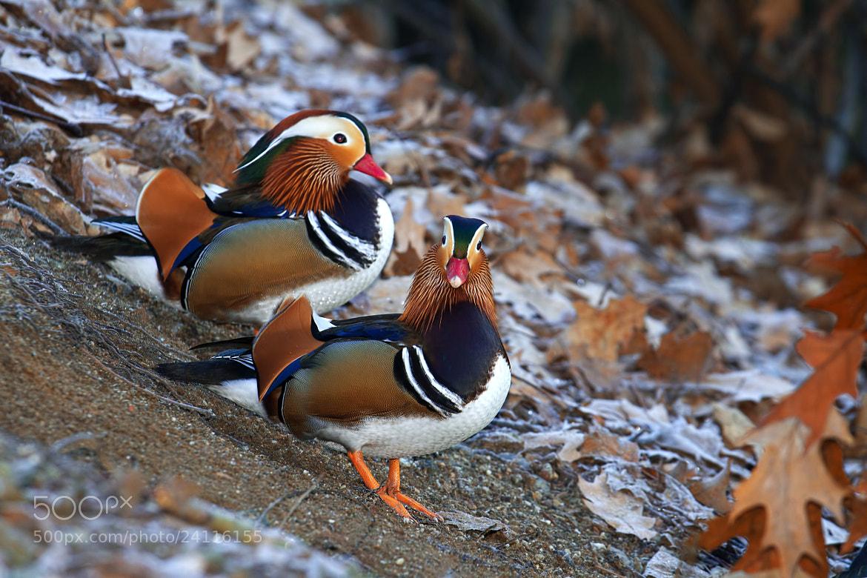 Photograph Mandarin duck by Alberto Maria Giardina on 500px