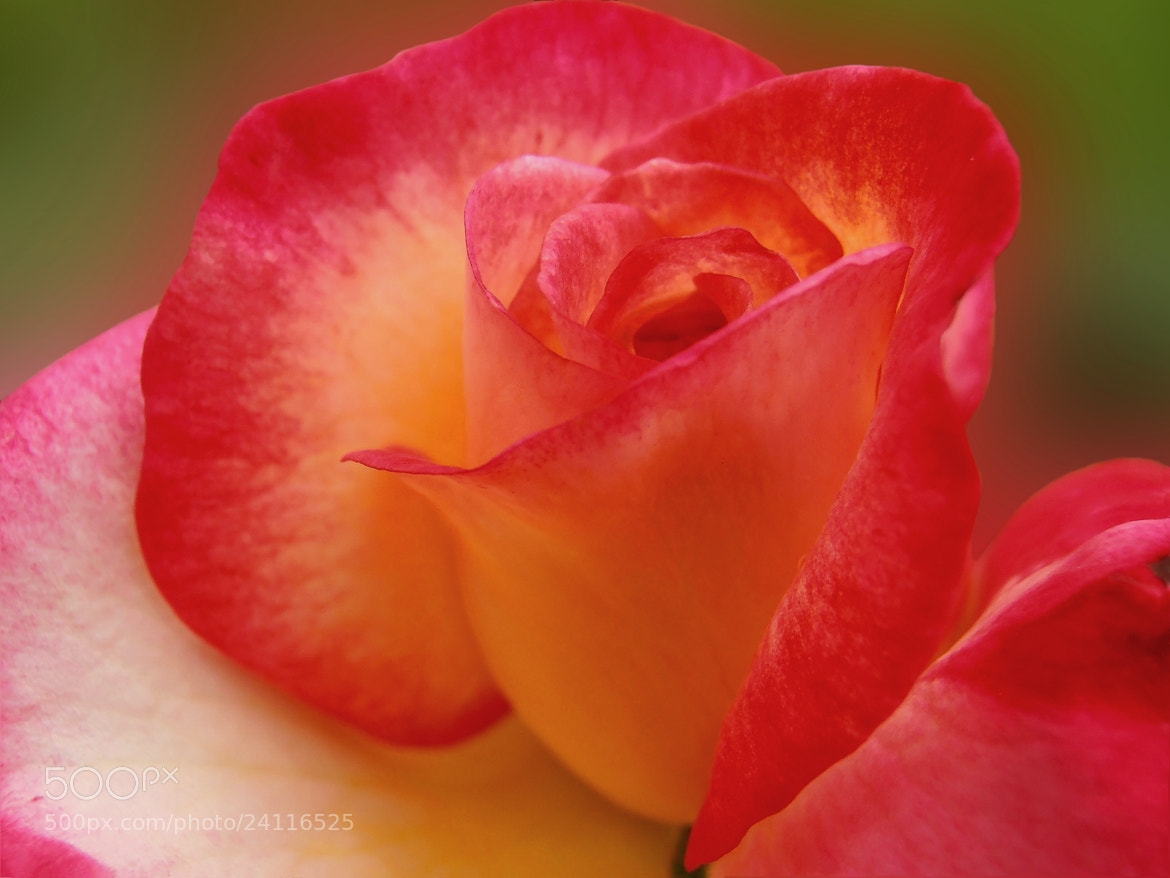 Photograph Wonderful rose by Snezana Petrovic on 500px