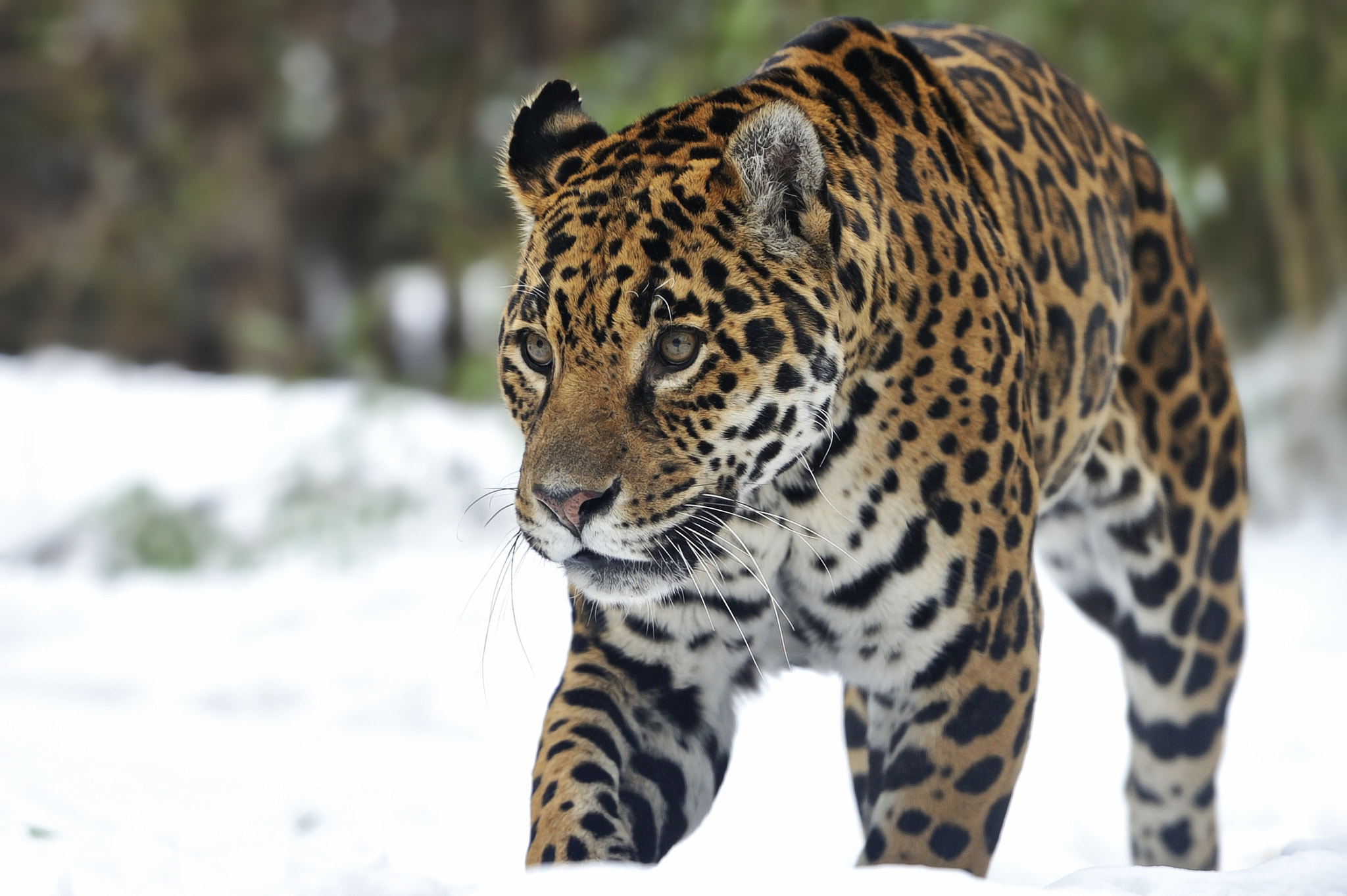 Photograph Deep Snow Jaguar by Josef Gelernter on 500px