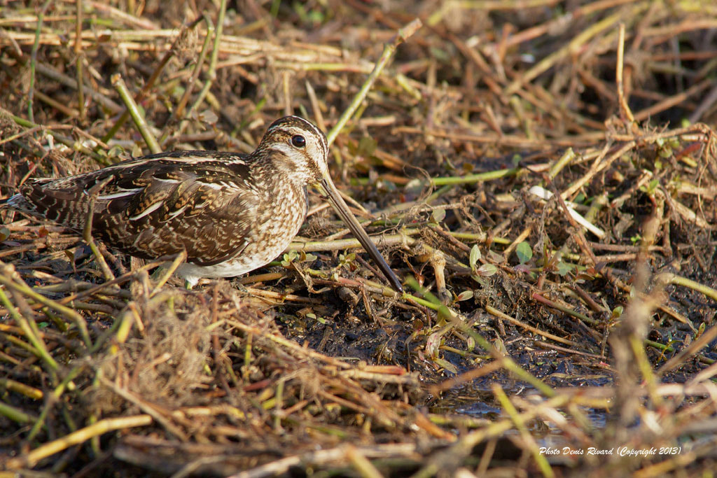 Photograph Wilson's Snipe by Denis Rivard on 500px