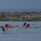 Flamingos in the salina. Bonaire.