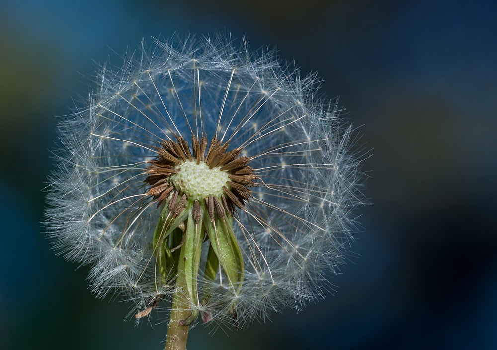 Photograph dandelions by Svein Ove Linde on 500px