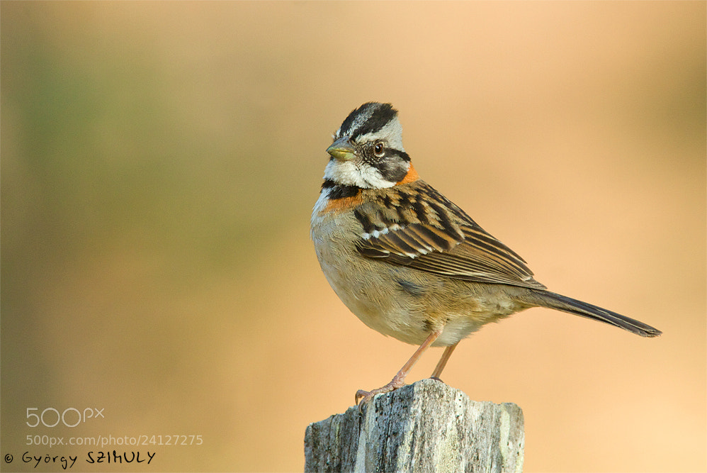 Photograph Rufous-collared Sparrow (Zonotrichia capensis septentrionalis) by Gyorgy Szimuly on 500px
