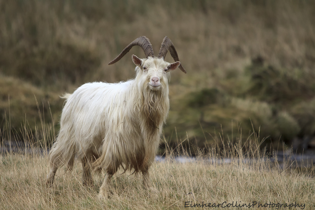Photograph Mountain goat by Eimhear Collins on 500px