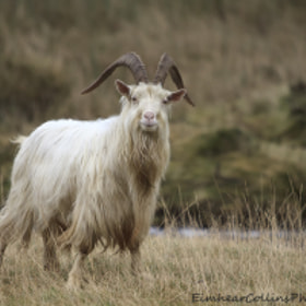 Mountain goat by Eimhear Collins (EimhearCollins)) on 500px.com