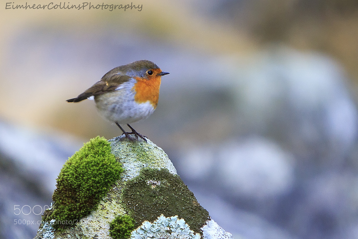 Photograph Robin by Eimhear Collins on 500px