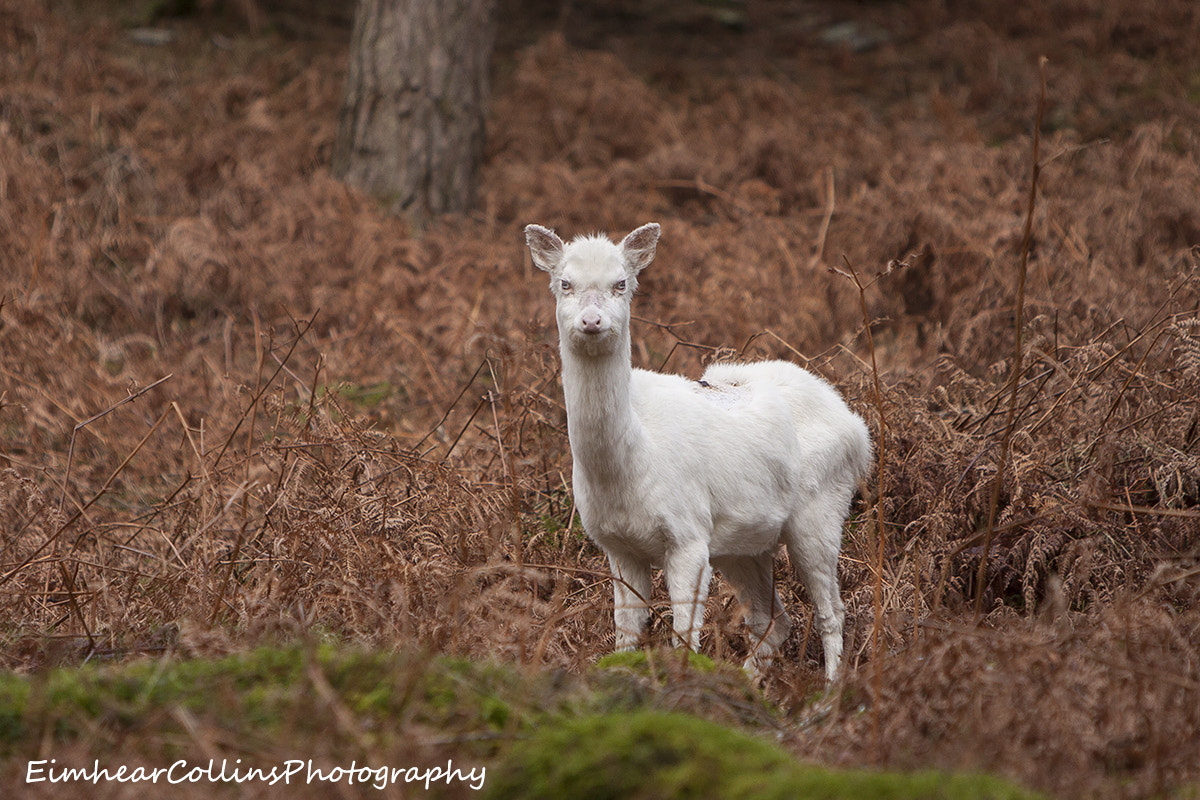Photograph Albino Sika Hind by Eimhear Collins on 500px