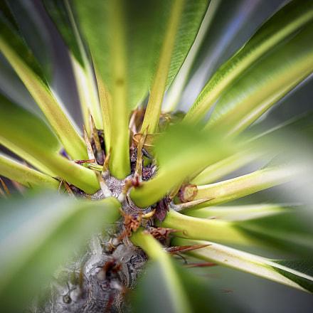 Palmier de Madagascar – PB07105