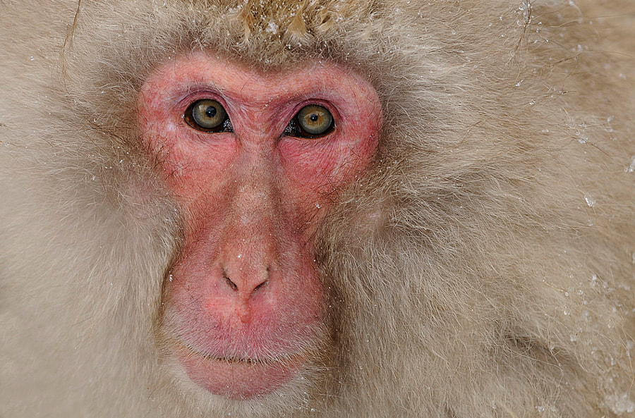 Japanese Macaque Alpha male at Jigokudani hotspring in the mountains near Nagano, Honshu, Japan.