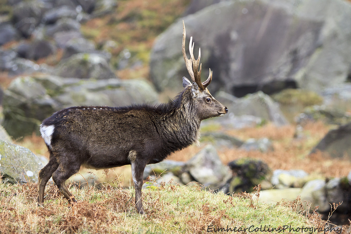 Photograph Sika Stag by Eimhear Collins on 500px
