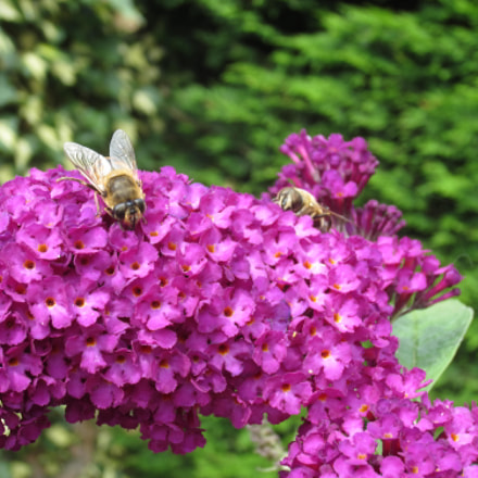 Buddleja with insects, Canon IXUS 220HS