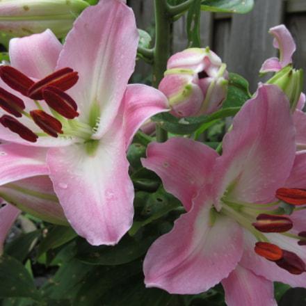 Lilies, Canon IXUS 220HS