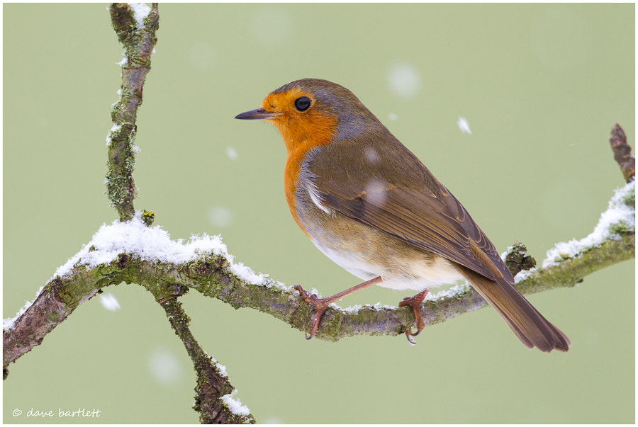 Photograph Robin in the snow by Dave Bartlett on 500px