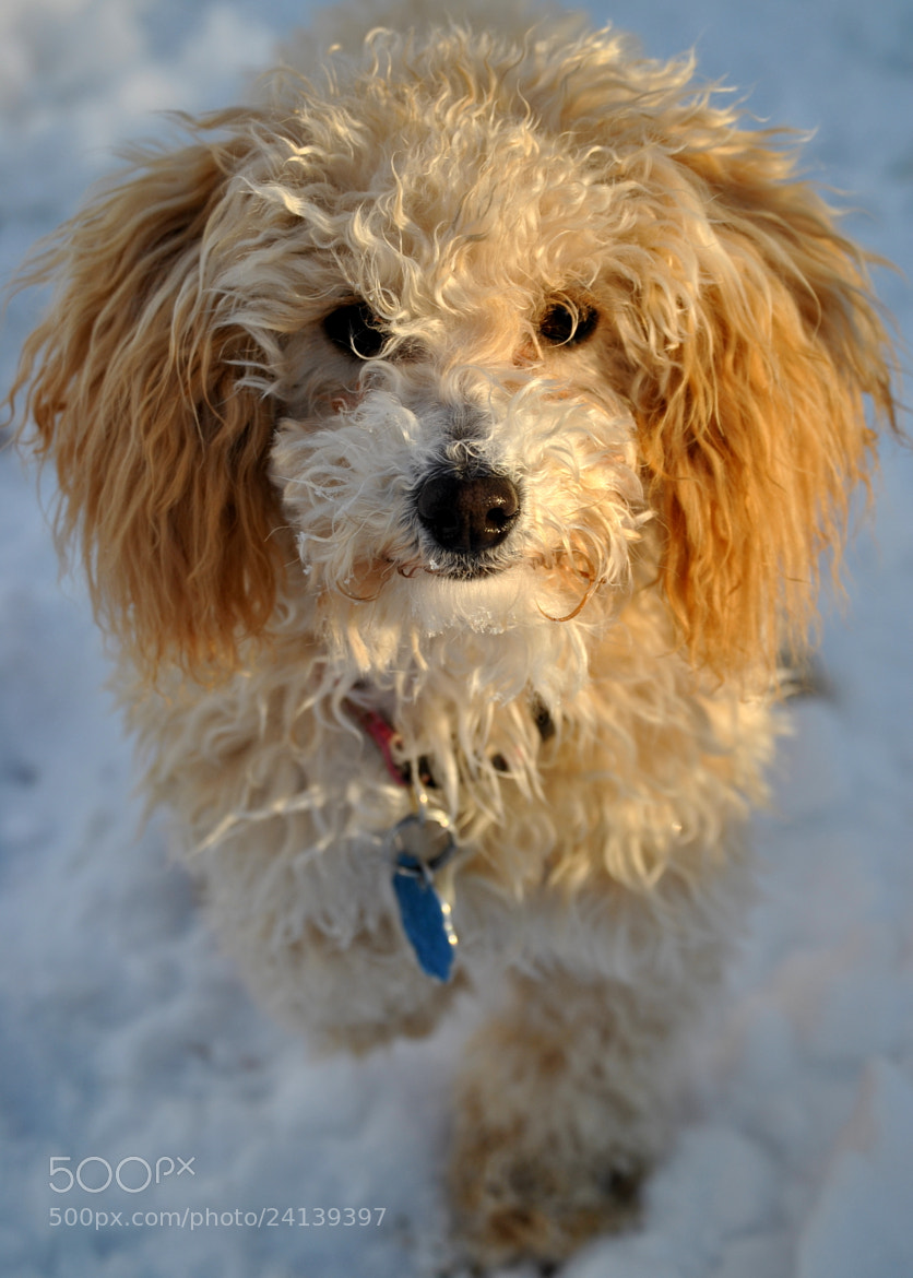 Photograph Toy Poodle in The Snow by Nate A on 500px