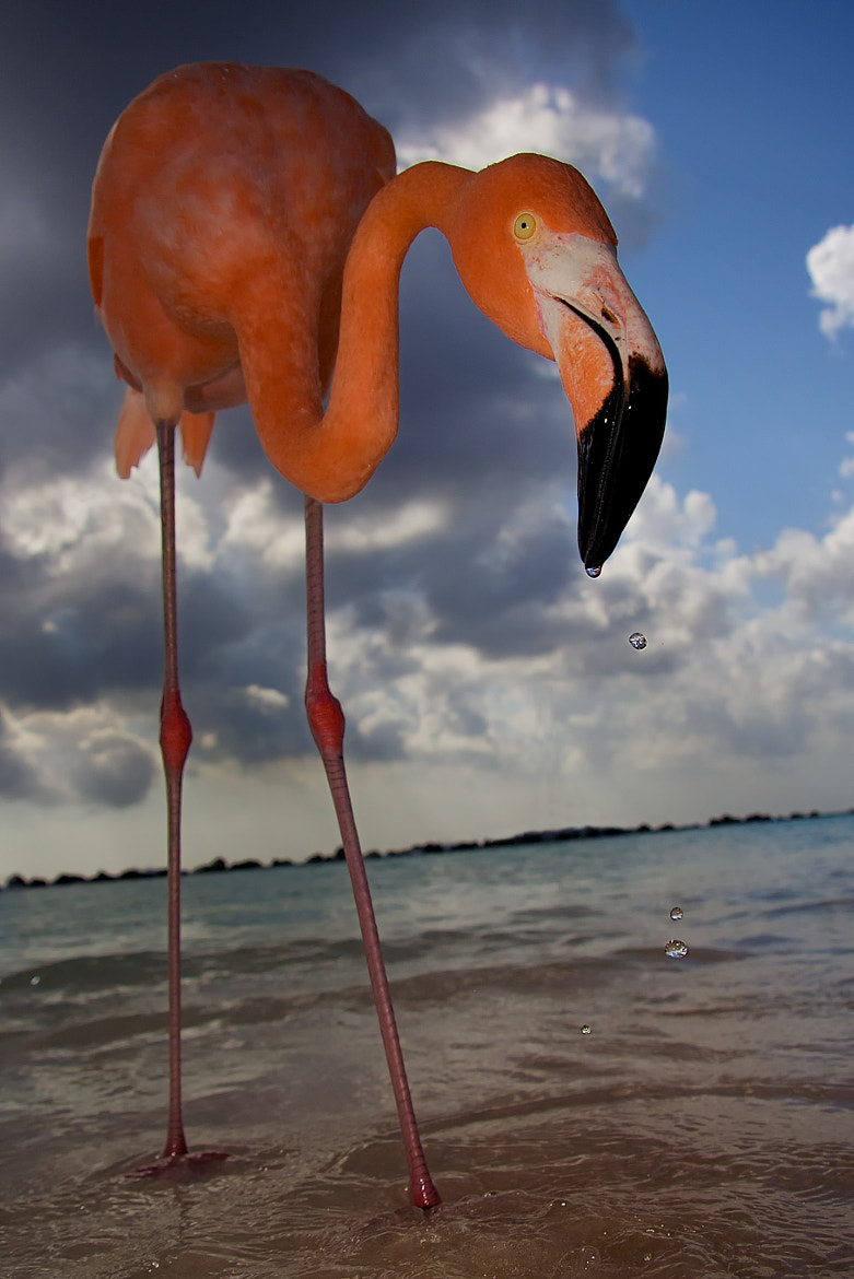 Photograph Feeding Flamingo by Andrew Servais on 500px