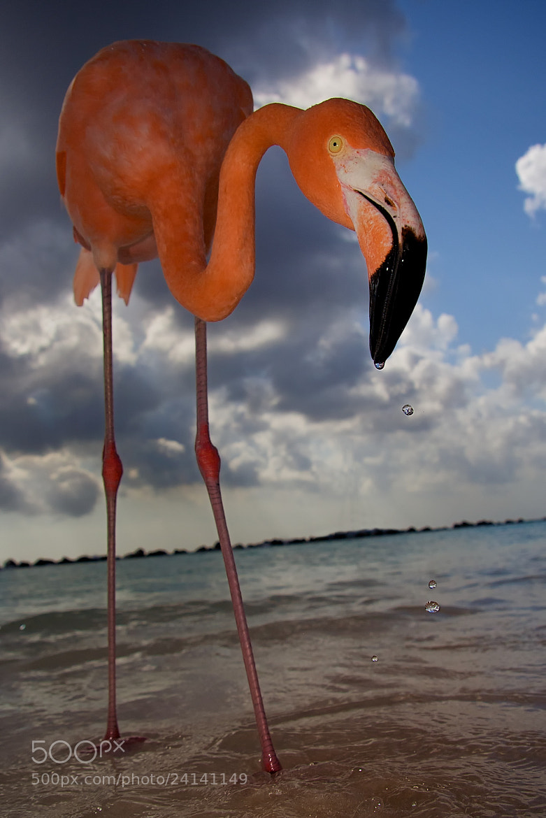 Photograph Feeding Flamingo by Andrew Barrett on 500px