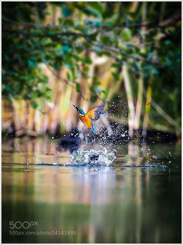 Photograph Kingfisher  by Gianni Del Bianco on 500px