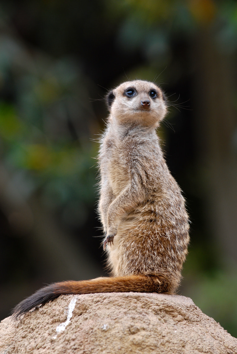 Photograph Portrait of a Meerkat by Gilles Royer on 500px
