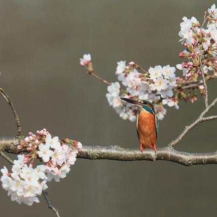 カワセミ Kingfisher, Canon EOS-1D X