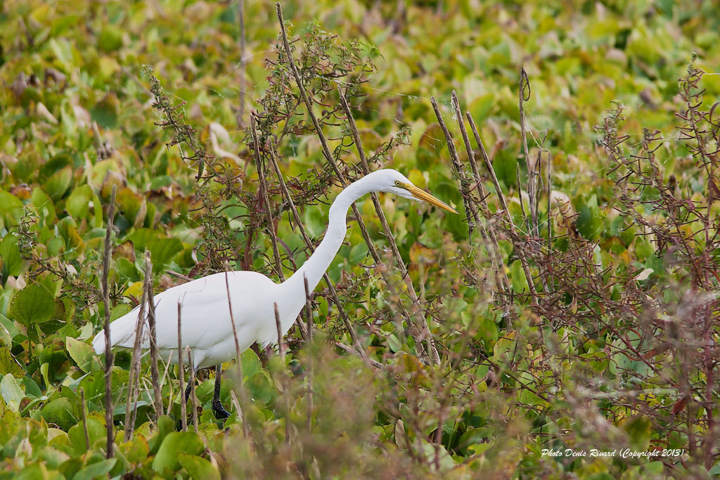 Photograph Great Egret by Denis Rivard on 500px