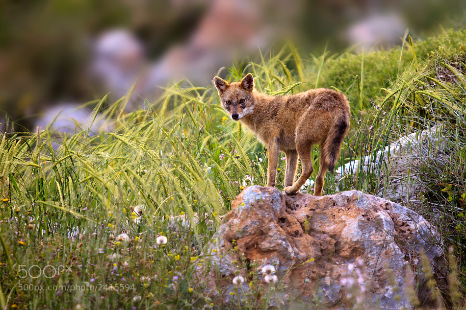Photograph Golden jackal by S. Amer on 500px