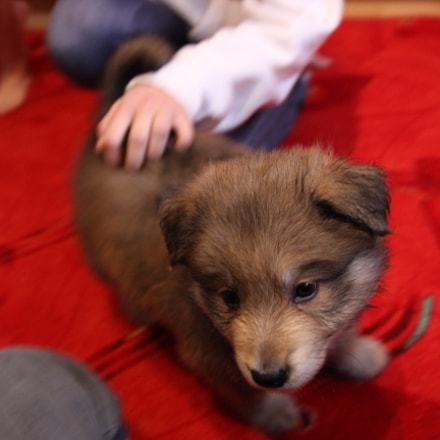 Pet small puppy, Canon EOS 600D, Tamron 18-250mm f/3.5-6.3 Di II LD Aspherical [IF] Macro