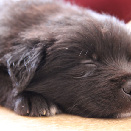 Sleeping little puppy, Canon EOS 600D, Tamron 18-250mm f/3.5-6.3 Di II LD Aspherical [IF] Macro