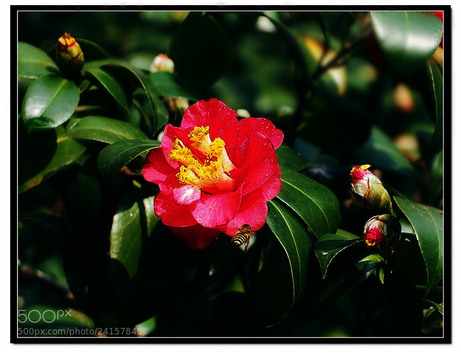 Photograph Bee Likes Camellia by Sherman C. on 500px