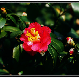 Bee Likes Camellia by Sherman C. (sherman)) on 500px.com