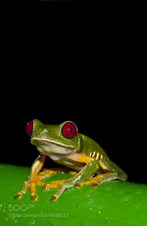 Photograph Tree Frog Portrait by Jordan Hoffman on 500px