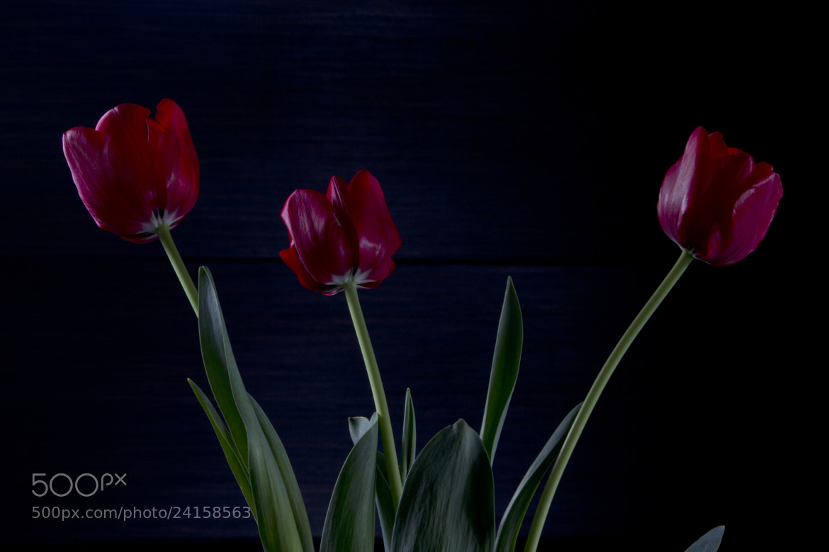 Photograph 3 Tulips by Cristobal Garciaferro Rubio on 500px