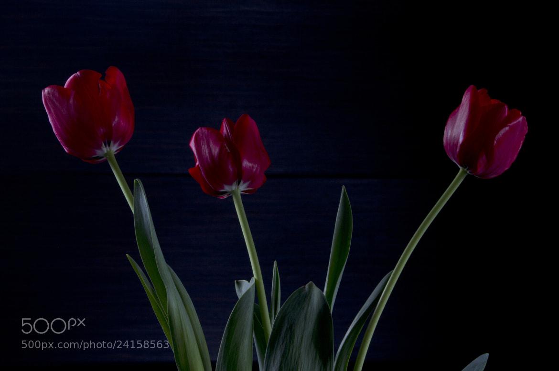 Photograph 3 Tulips by Cristobal Garciaferro Rubio on 500px