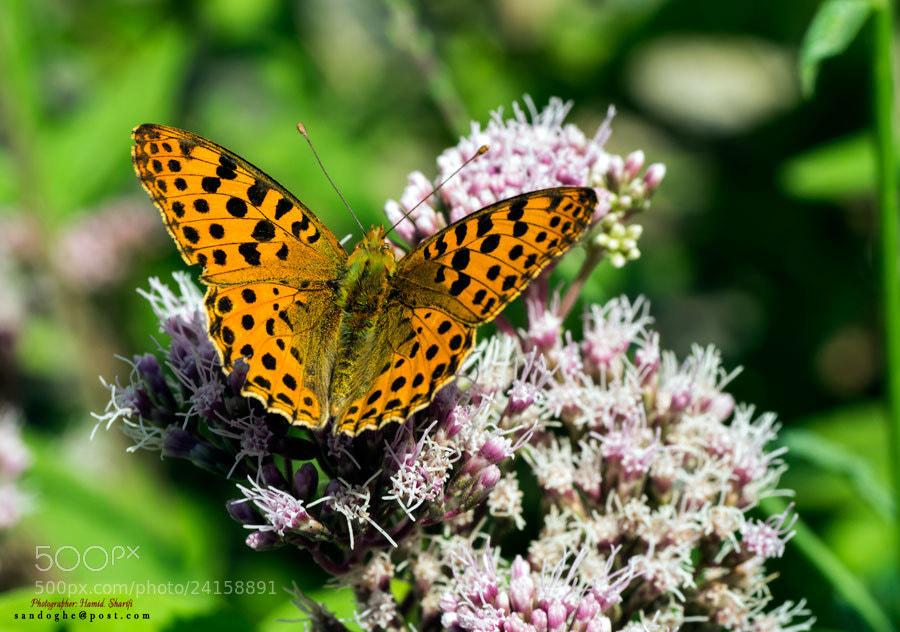 Photograph Butterfly by Hamid Sharifi on 500px