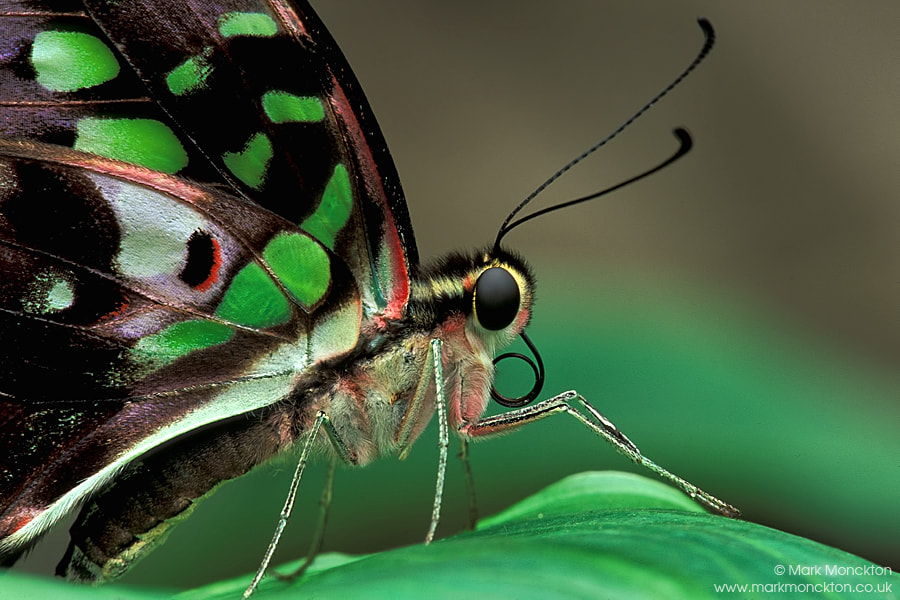 Photograph Tailed Jay (Graphium agamemnon) by Mark Monckton photography on 500px