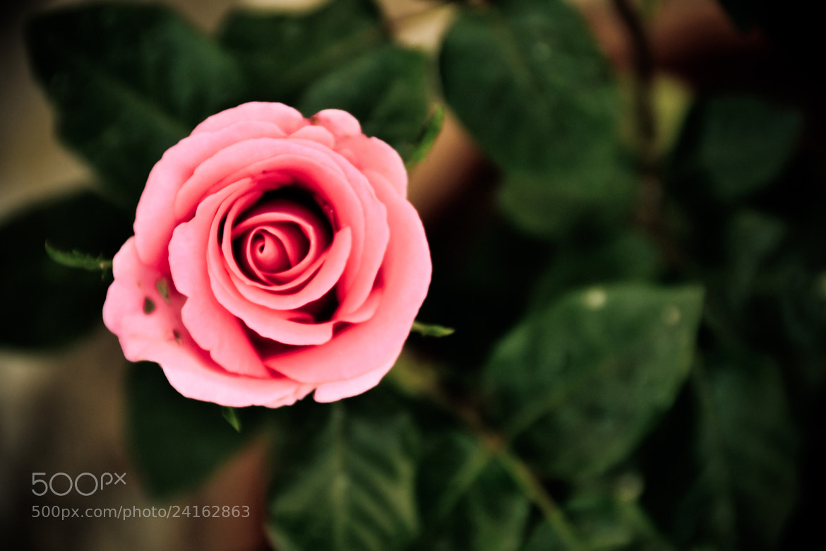 Photograph ROSE by Aravindhsibi Arumugam on 500px