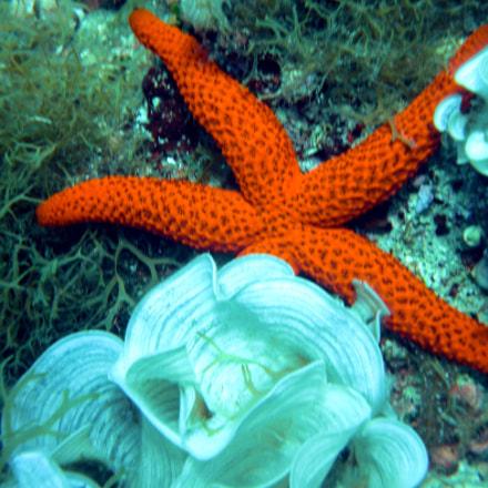 Stella marina/Starfish, Nikon COOLPIX S225