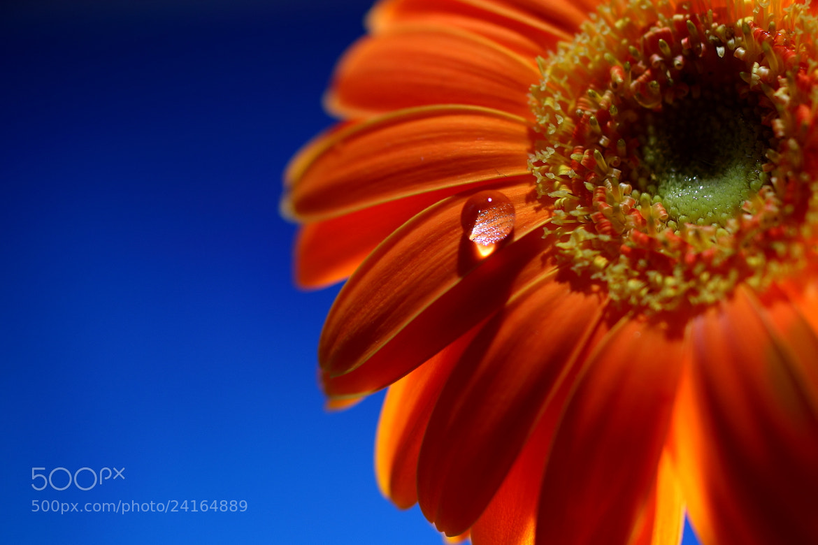 Photograph Gerbera  by Eve BlueRose on 500px