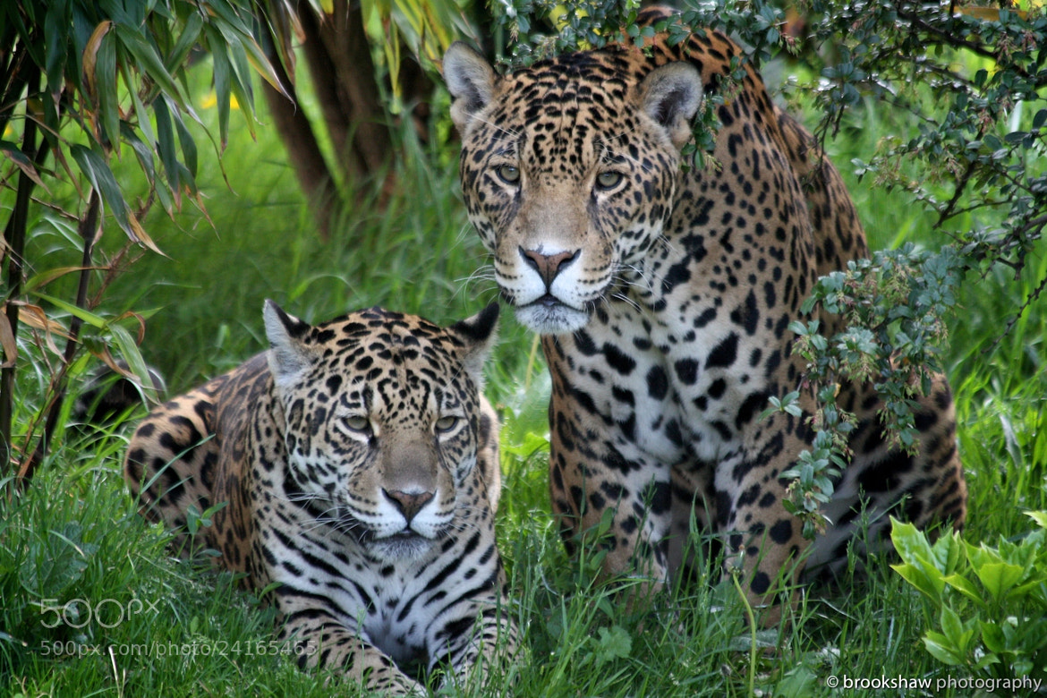 Photograph Jaguars by Gary Brookshaw on 500px
