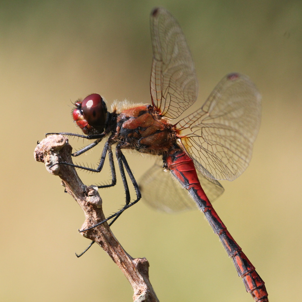 Photograph Ruddy Darter Dragonfly by Ger Bosma on 500px
